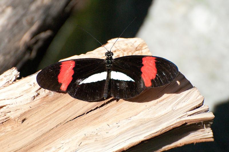 Butterfly_Small Postman_DSC2486