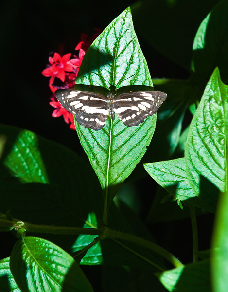 Butterfly_Common Sailor_DDD5083