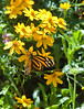 Butterfly_Large Tiger_DDD5049