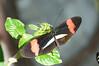 Butterfly_Small Postman_DSC2500