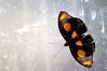 Butterfly_Grecian Shoemaker_DSC2562