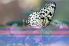 Butterfly_Paper Kite_DSC2454