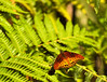 Butterfly_Mexican Silverspot_DDD5340