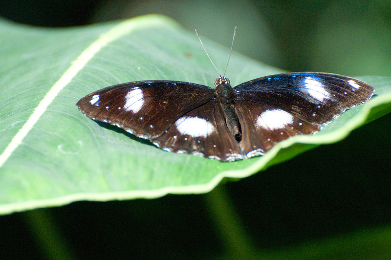 Butterfly_The Great Egg Fly_DSC2506