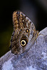 Butterfly_Owl_HDZoo_DON1936