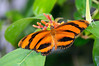 Butterfly_Banded Orange Heliconian_HDZoo_DON1929
