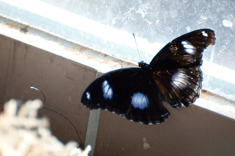 Butterfly_The Great Egg Fly_DSC2577