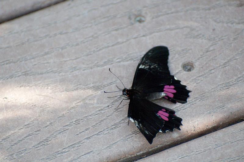 Butterfly_Ruby-Spotted Swallowtail_DSC2590
