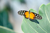 Butterfly_Heliconius Hecale_DSC2598