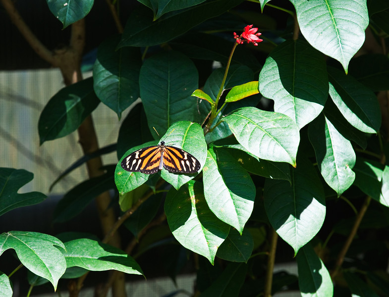 Butterfly_Large Tiger_DDD5157