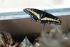 Butterfly_Black Swallowtail_DSC2568