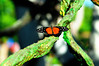 Butterfly_Hecales Longwing_HDZoo_DON1726