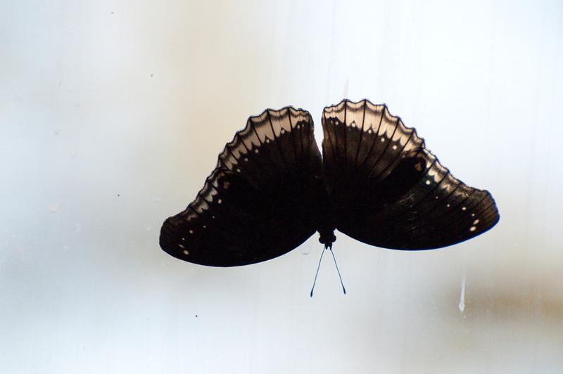 Butterfly_Mourning Cloak_DSC2503