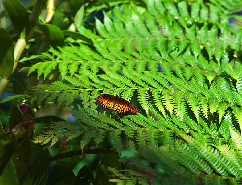 Butterfly_Mexican Silverspot_DDD5205