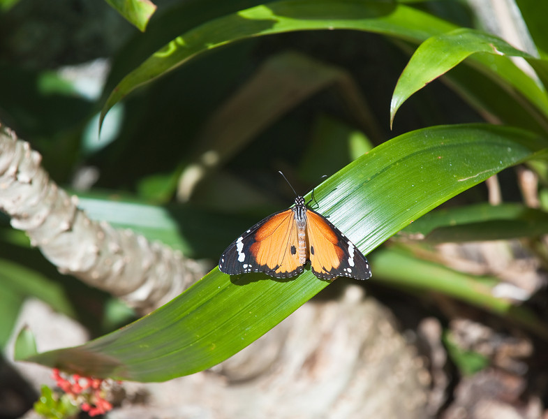 Butterfly_Plain Tiger_DDD5057
