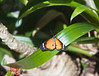 Butterfly_Plain Tiger_DDD5057