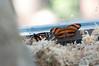 Butterfly_Banded Orange Heliconian_DSC2442