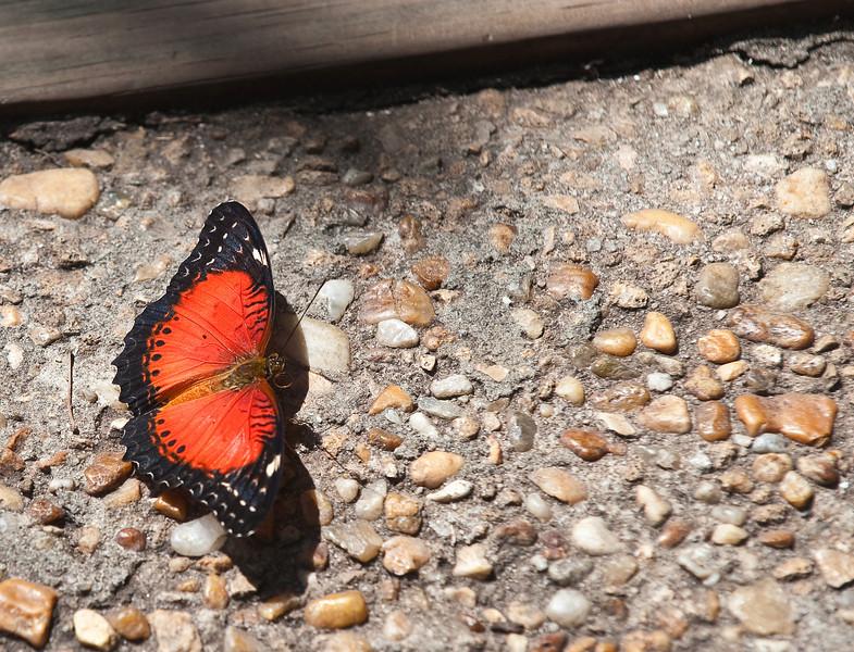 Butterfly_Tiger Longwing_DDD5243