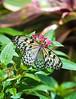Butterfly_Paper Kite_DDD5067