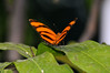 Butterfly_Banded Orange Heliconian_HDZoo_DON1939