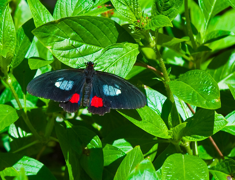 Butterfly_Pink Cattleheart_DDD5154a