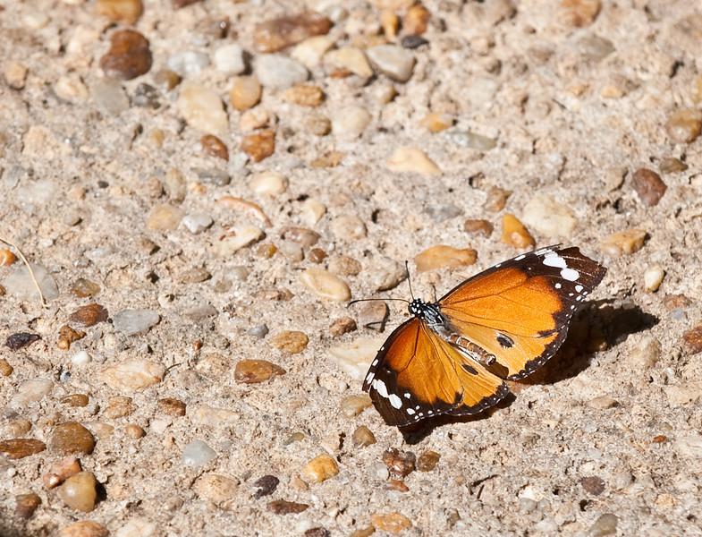 Butterfly_Plain Tiger_DDD5108