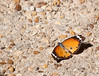 Butterfly_Plain Tiger_DDD5108