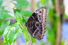 Butterfly_Common Morpho_HDZoo_DON1729