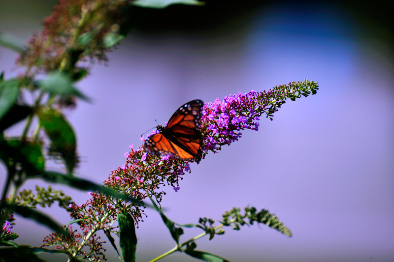 Butterfly_Monarch_Haworth Park_DDD2513