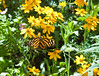 Butterfly_Large Tiger_DDD5051