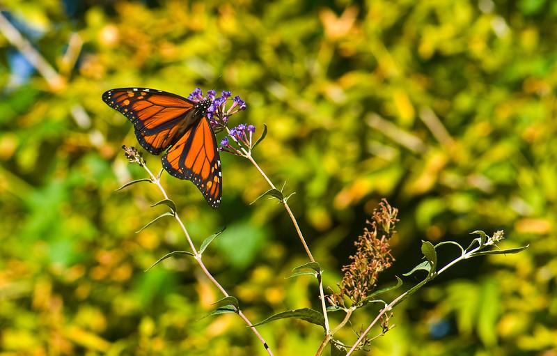 Butterfly_Monarch_Heron Haven_0802