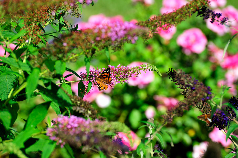Butterfly_Painted Lady_Haworth Park_DDD2283_1