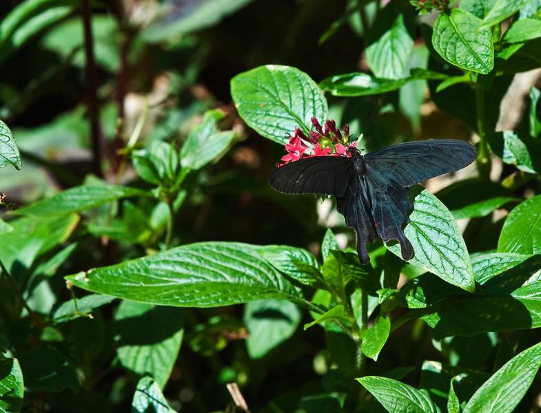 Butterfly_Pink Rose Swallowtail_DDD5114