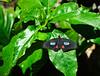 Butterfly_Pink Cattleheart_DDD5137