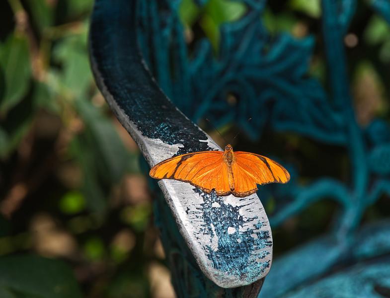 Butterfly_Julia Heliconian_DDD5315
