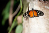 Butterfly_Heliconius Hecale_DSC2584