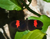 Butterfly_Heliconius_cyrbia_DDD5250