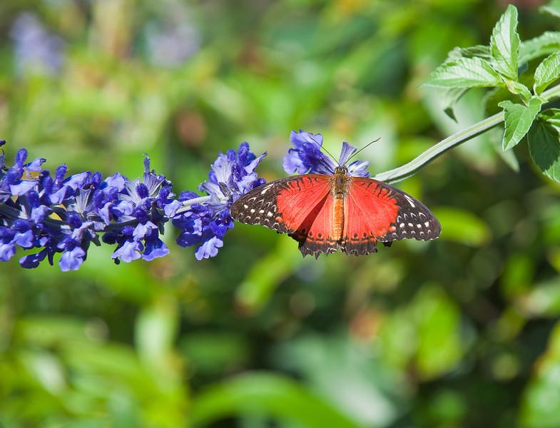 Butterfly_Tiger Longwing_DDD5275