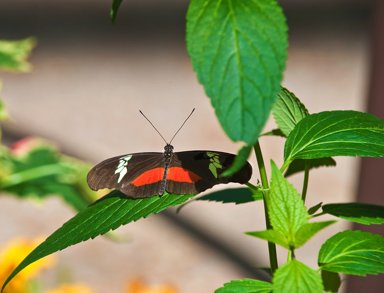 Butterfly_Mexican Heliconian_DDD5044