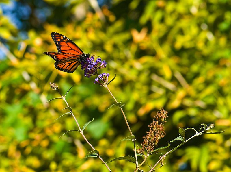 Butterfly_Monarch_Heron Haven_0800