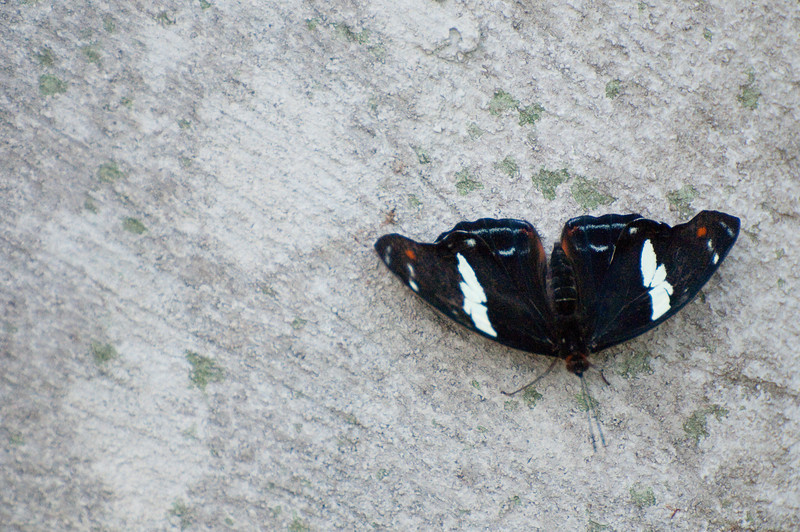 Butterfly_Heliconius Sara_DSC2526