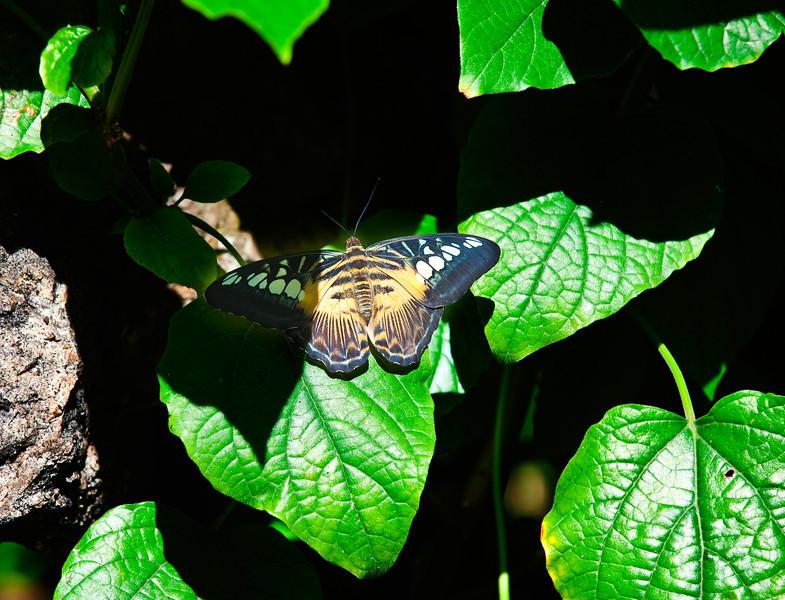 Butterfly_Clipper_DDD5099