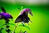 Butterfly_Eastern Tiger Swallowtail_Female Dark Version_Haworth Park_DDD2422
