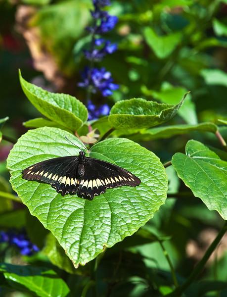 Butterfly_Polydamas Swallowtail_DDD5331