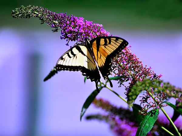 Butterfly_Eastern Tiger Swallowtail_Haworth Park_DDD2229