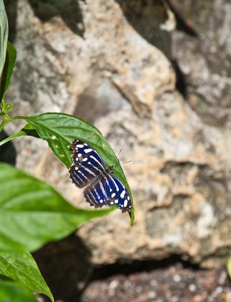 Butterfly_Banded  Purple Wing_DDD5160