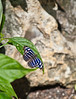 Butterfly_Banded  Purple Wing_DDD5160
