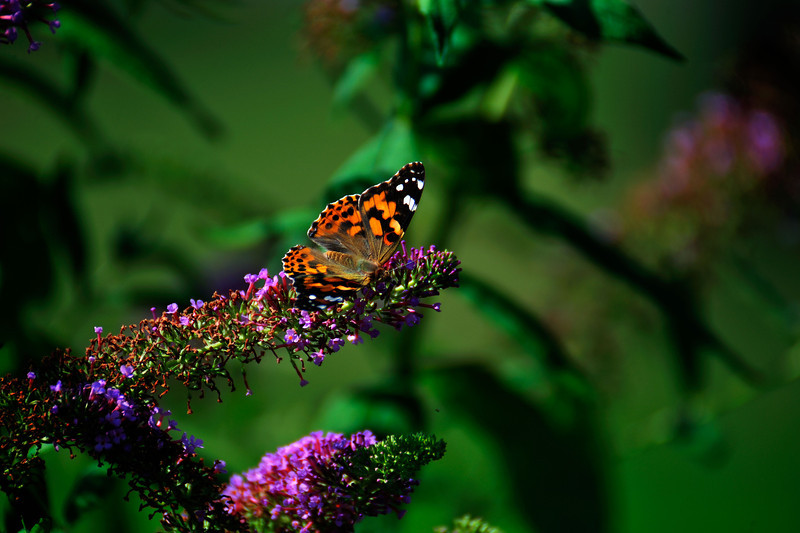 Butterfly_Painted Lady_Haworth Park_DDD2350