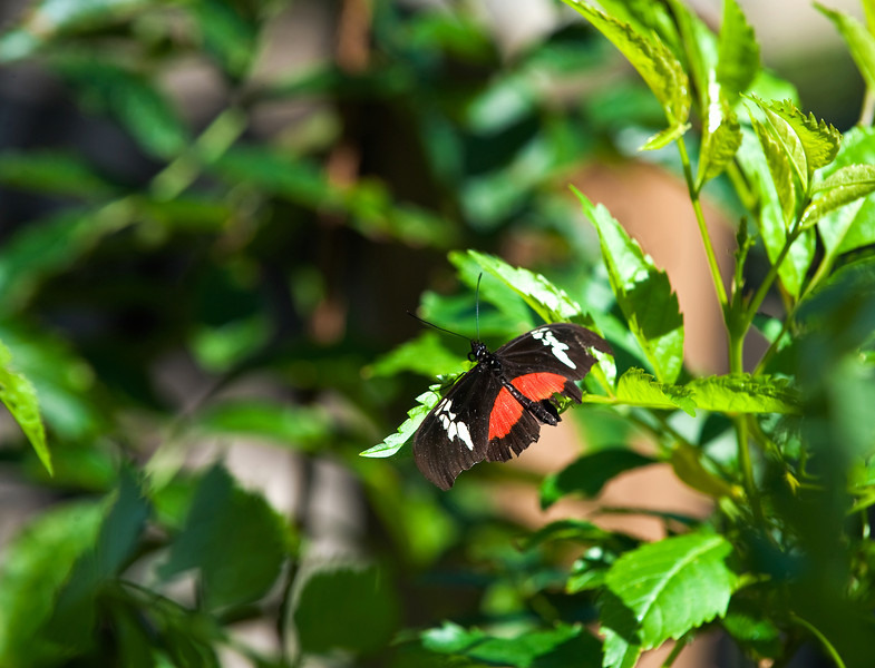 Butterfly_Mexican Heliconian_DDD5195