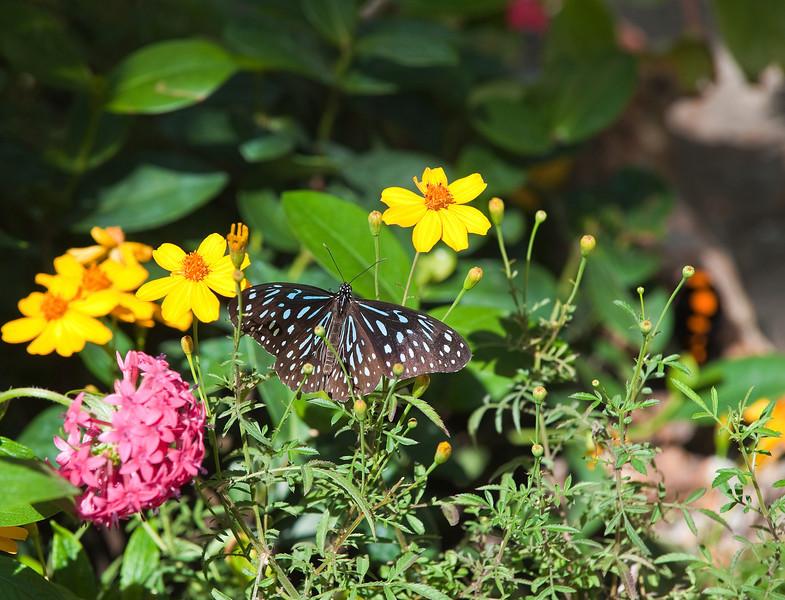 Butterfly_Banded Purple Wing_DDD5291